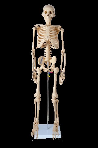 Modelo Anatômico do Esqueleto